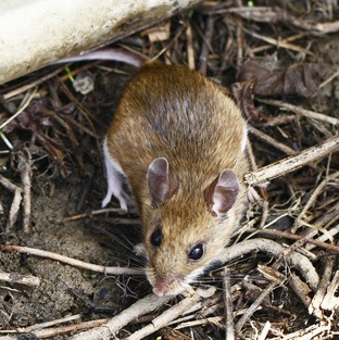 Deer Mouse © Jerry Cannon (https://www.inaturalist.org/photos/8002686)