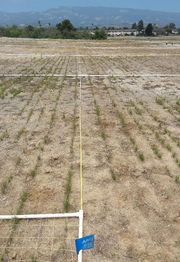 A vegetation monitoring transect in the Perennial Grassland on the Mesa in 2018 (year 1 - left) and 2019 (year 2 - right).