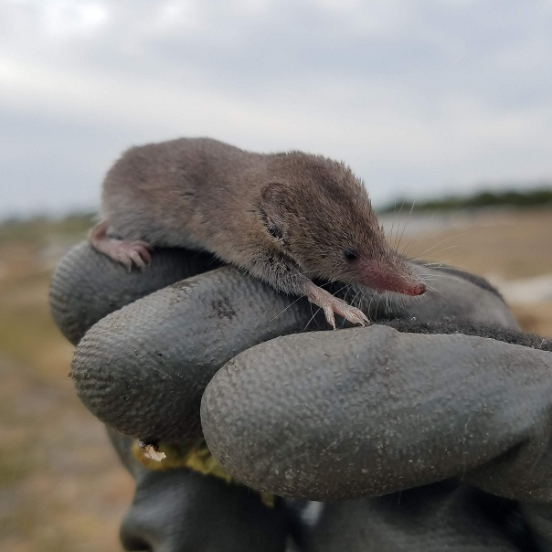 Right Image: a Shrew species seen at NCOS.