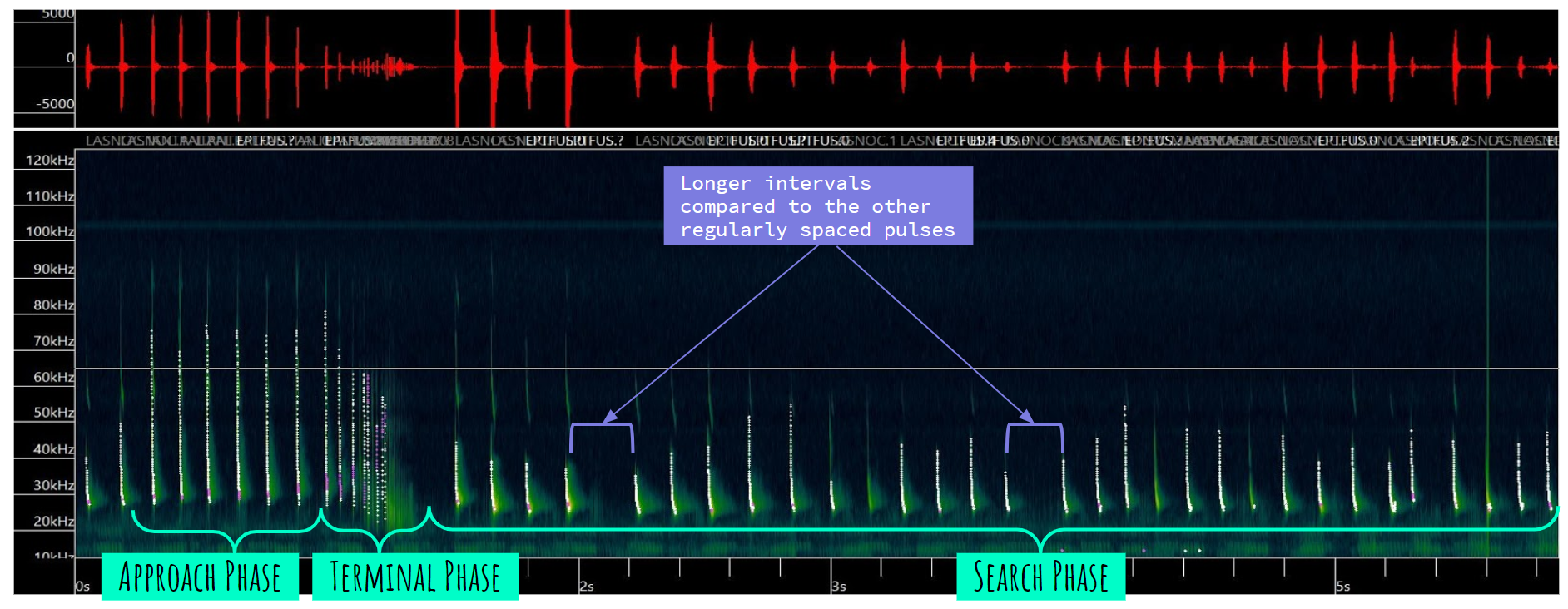 Figure 2. Visualization of a recording of vocalizations, or calls, by a Big brown bat (Eptesicus fuscus). The upper portion is the oscillogram that measures amplitude, with the lower portion is the spectrogram that measures frequency. The variation in call intervals, a common character of Big brown bat calls, is indicated as well as the three main phases of vocalizations used during foraging for prey: search, approach, and terminal phases.