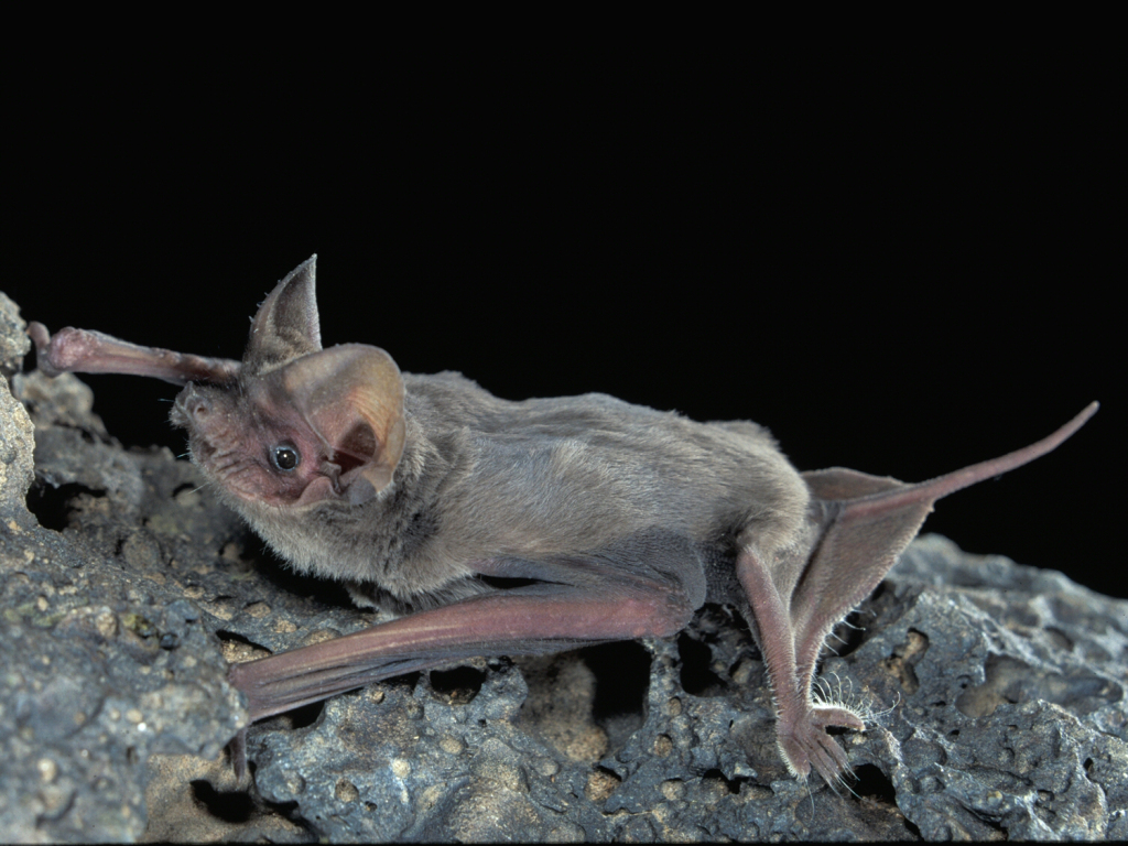 Mexican free-tail bat (Tadarida brasiliensis subspecies Mexicana) by Altenbach, J.S. (https://uhlnc.org/tag/mexican-free-tailed-bat/).